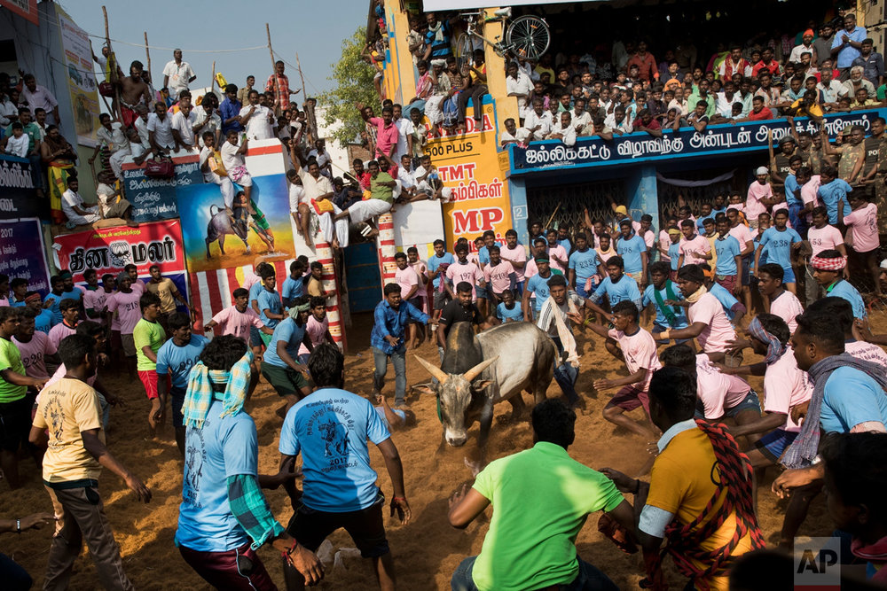 "A bull faces a crowd during a traditional bull-taming festival called ""Jallikattu,"" in the village of Allanganallur, near Madurai, Tamil Nadu state, India, Friday, Feb. 10, 2017. Jallikattu involves releasing a bull into a crowd of people who attempt to grab it and ride it. Performed during the four-day ""Pongal"" or winter harvest festival, popular in Tamil Nadu. (AP Photo/Bernat Armangue)"