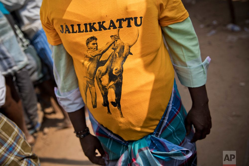 In this Feb. 10, 2017 photo, a Jallikattu supporter attends the traditional bull-taming festival in the village of Allanganallur, near Madurai, Tamil Nadu state, India. In January, tens of thousands of people sat in peaceful protest on Marina beach in Chennai, the state capital of Tamil Nadu demanding that the event be allowed. Across the state, tens of thousands of others, including leading movie stars and sports people, joined the protest. (AP Photo/Bernat Armangue)