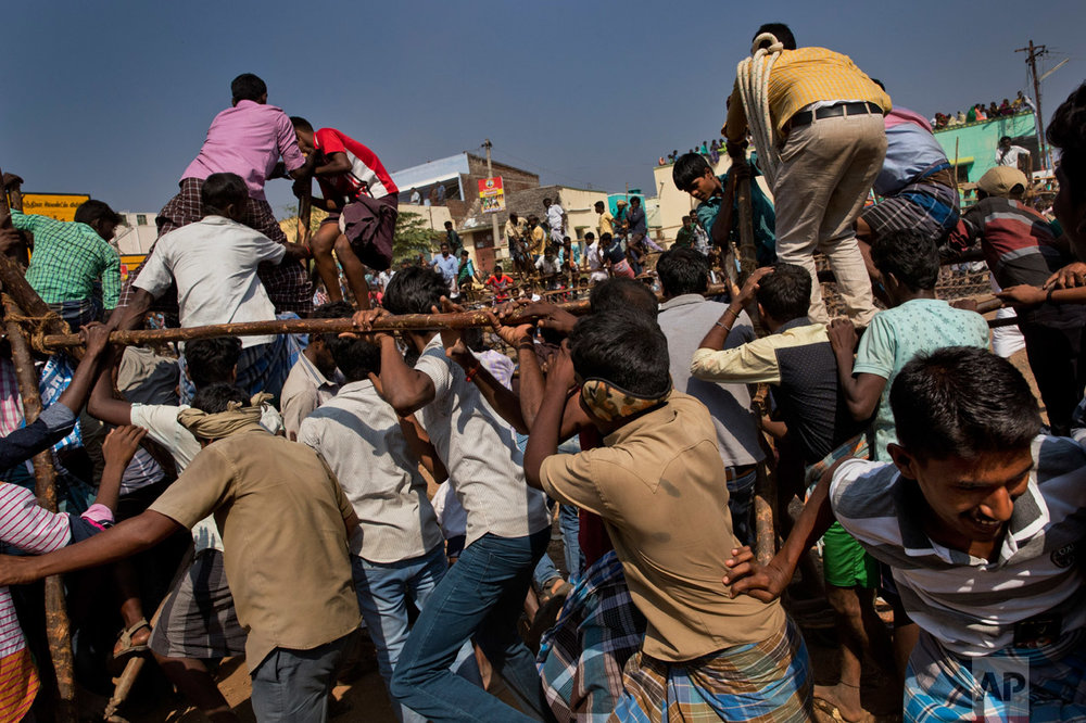 In this Feb. 9, 2017 photo, revelers run away from a bull, not seen, during a traditional bull-taming festival called Jallikattu, in the village of Palamedu, near Madurai, Tamil Nadu state, India. This year, Jallikattu returned to Tamil Nadu late January after protesters forced the government to rush new legislation exempting it from animal cruelty laws. (AP Photo/Bernat Armangue)