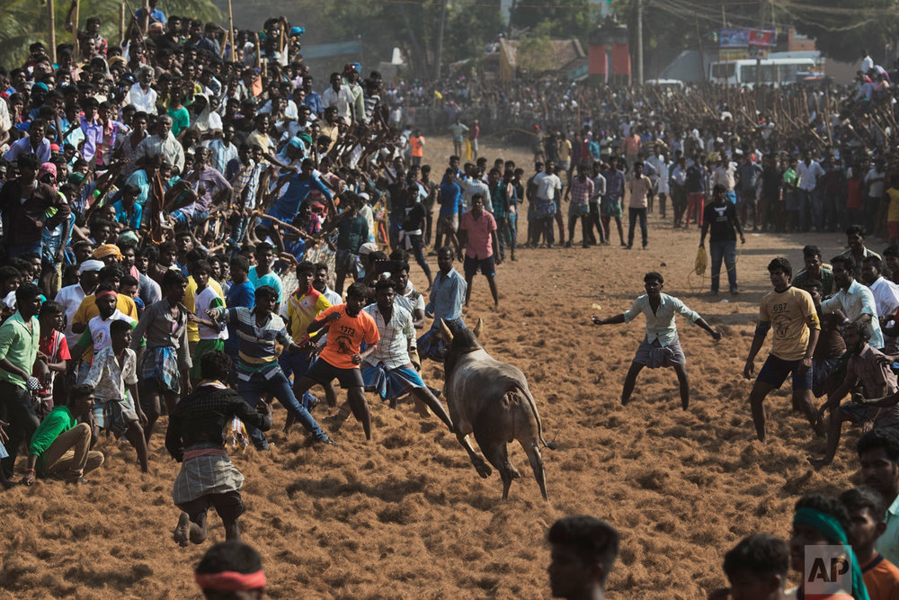 In this Feb. 9, 2017 photo, a bull faces a crowd during a traditional bull-taming festival called Jallikattu, in the village of Palamedu, near Madurai, Tamil Nadu state, India. For two years Jallikattu, a deeply-held religious ritual, had been banned in Tamil Nadu on orders of India's Supreme Court. The tradition, the court said inflicted cruelty upon the animals. (AP Photo/Bernat Armangue)