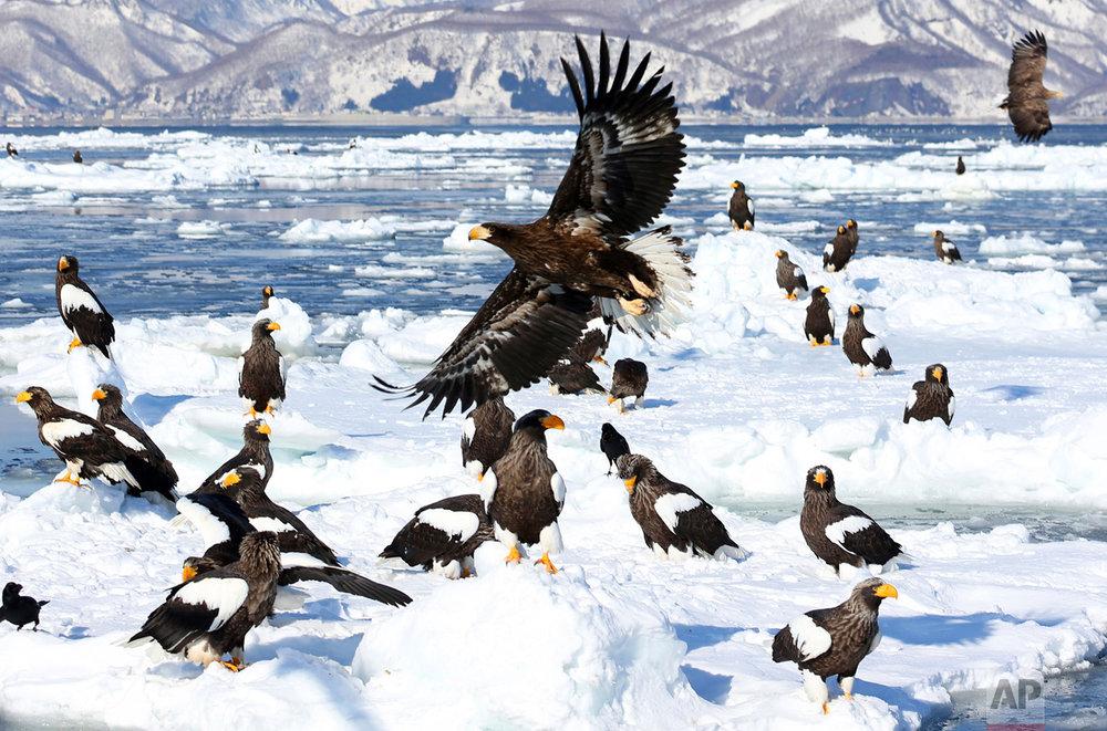 Sea eagles herald arrival of winter