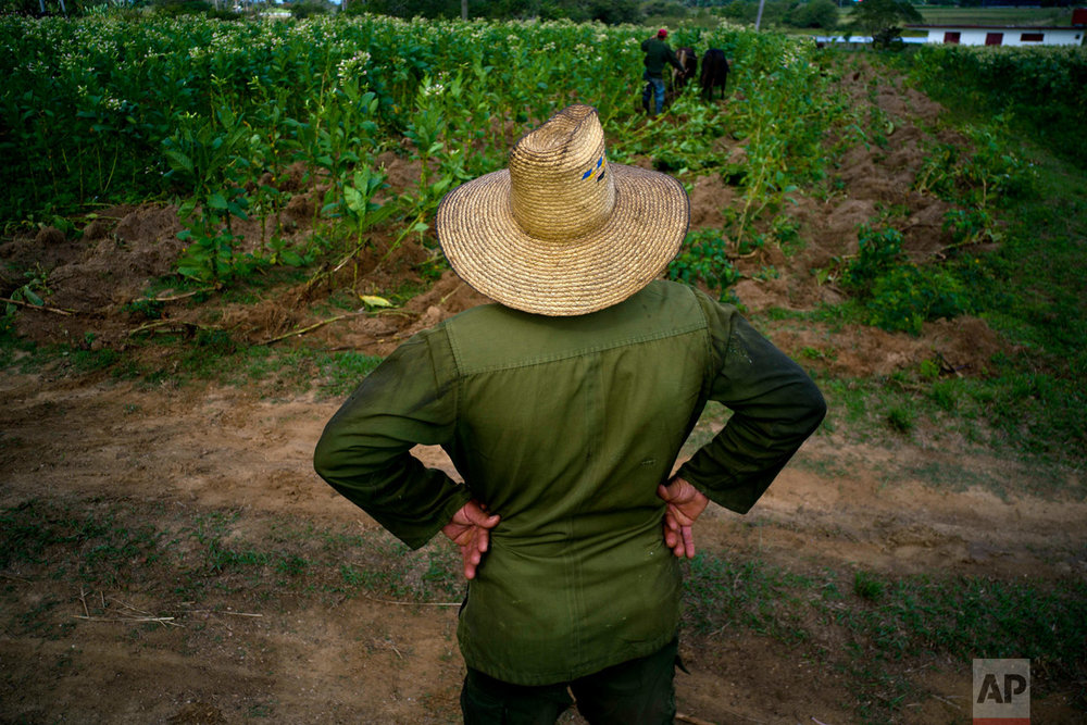 "In this Feb. 28, 2017 photo, tobacco farm owner Luis Martinez watches as a worker clears the ground of lose tobacco leaves in Cuba's western province Pinar del Rio. ""This year I can't complain,"" Martinez says. ""The weather helped the harvest and I think it'll be the best crop in many years."" (AP Photo/Ramon Espinosa)"