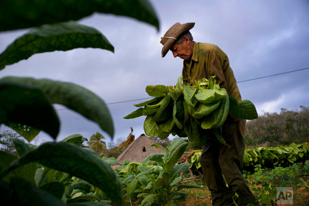 In this Feb. 28, 2017 photo, tobacco picker Romerio Garcia collects leaves at the Alfredo Rojas farm in Viñales, Cuba's western province Pinar del Rio. The lush green fields are carpeted with healthy tobacco plants. One cooperative foreman says his workers have harvested three or four times what they were able to bring in last year. (AP Photo/Ramon Espinosa)