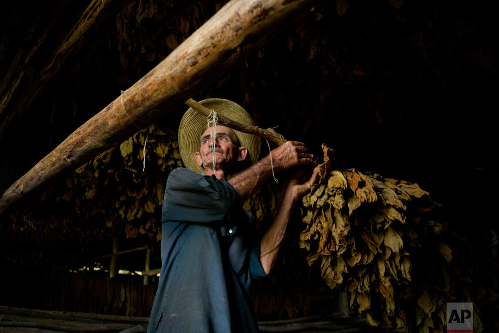 In this Feb. 28, 2017 photo, a worker hangs tobacco leaves in a drying shed, at the Martinez tobacco farm in Cuba's western province Pinar del Rio. The tobacco leaves will be hung to dry for almost two months before being sent off for cleaning and eventually rolled into cigars. (AP Photo/Ramon Espinosa)