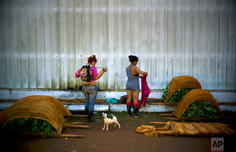 In this Feb. 11, 2017 photo, workers who are responsible for handling freshly cut tobacco leaves, change into their street clothes at the end of their work shift at a state-run warehouse in Alquizar, in Cuba's western province Artemisa. (AP Photo/Ramon Espinosa)