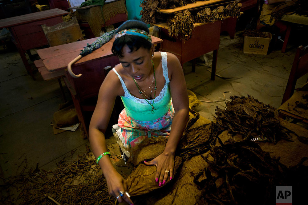 "In this Feb. 28, 2017 photo, a ""despalilladora"" removes the central vein from a tobacco leaf inside a state-run warehouse in San Luis, in Cuba's western province Pinar del Rio. After the central vein is removed from each dried leaf, they're dipped in ammonium and water and dried again for at least two months. (AP Photo/Ramon Espinosa)"
