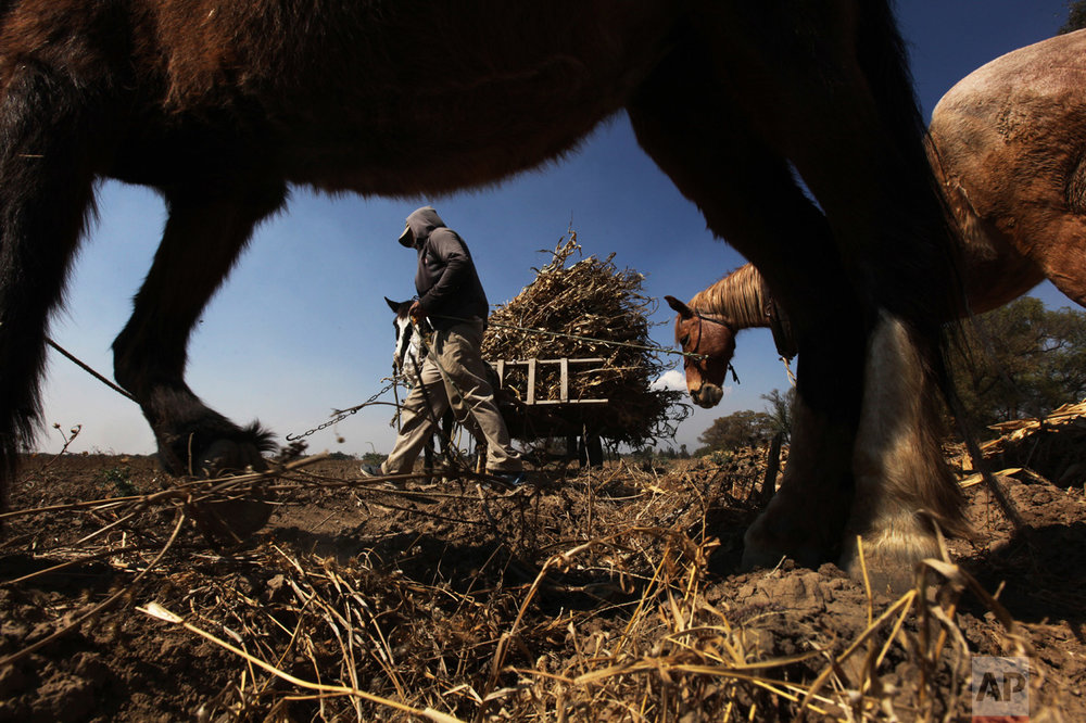 Eric Peralta loads stalks of harvested corn on his wagon in San Salvador Atenco, México, Wednesday, Feb. 1, 2017. Peralta's land is right next to Mexico City's future airport which is expected to be ready by mid-2020. (AP Photo/Marco Ugarte)