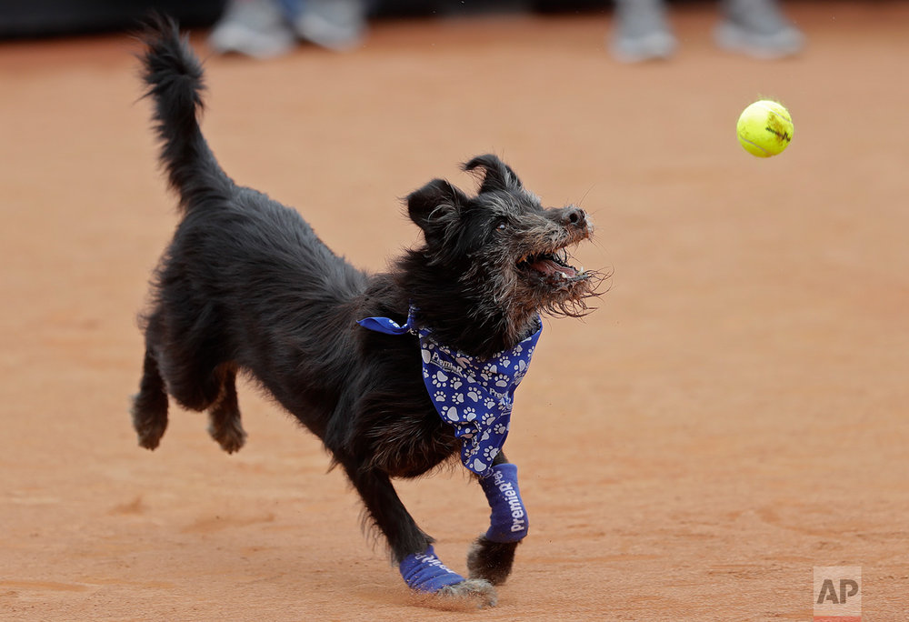 A shelter dog specially trained as a ball-retriever eyes a tennis ball during an exhibition event at the Brazil Open tournament in Sao Paulo, Brazil, Saturday, March 4, 2017. Wearing blue bandanas around their necks, specially trained shelter dogs showed off their talents shortly before Joao Sousa of Portugal met Spain's Albert Ramos-Vinolas in the day's first semifinal match. (AP Photo/Andre Penner)
