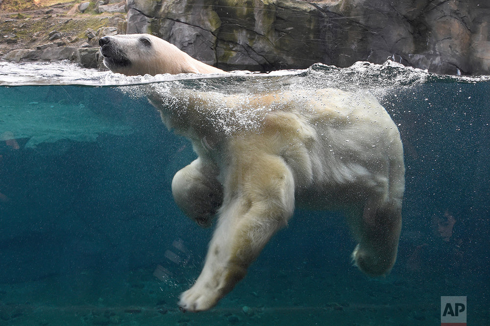 Germany Polar Bear