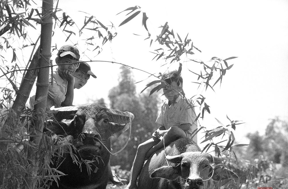 In the northern part South Vietnam it is now the dry season and a time of little work for the mainstay of small farms in the area, the water buffalos. Here, three boys sit atop their animals as they care for them along Route 1, southwest of the northern port city of Danang, Vietnam, Aug. 24, 1974. Heavy fighting has racked area further west of this tranquil scene. (AP Photo/Nick Ut)