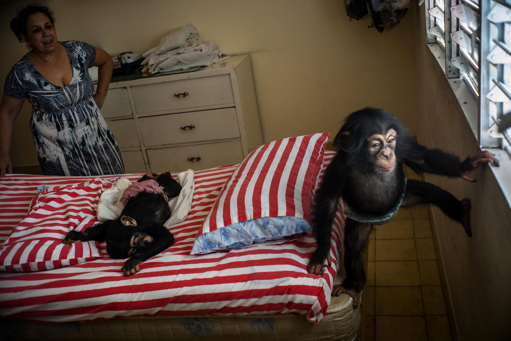 In this April 4, 2017 photo, Biologist Marta Llanes looks at baby chimpanzee Ada, right, while Anuma II, center, sleeps on a bed, at her apartment in Havana, Cuba. While zoos in other countries may have specialized facilities for raising baby animals, in Cuba the job falls to Llanes, a 62-year-old zoologist who has cared for 10 baby chimps in her central Havana apartment since she started work at the city zoo in 1983. (AP Photo/Ramon Espinosa)