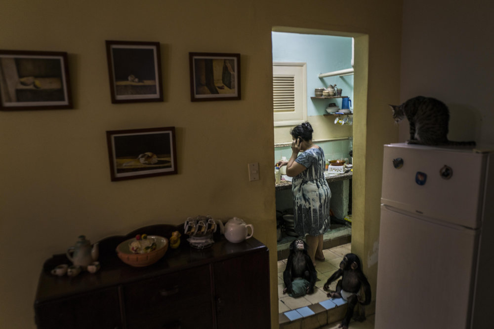 In this April 4, 2017 photo, zoologist Marta Llanes prepares dinner for baby chimpanzees Anuma II, and Ada while the house cat Ty stands on the top of the refrigerator, at Llanes' apartment in Havana, Cuba. Llanes, who has an adult daughter, says it can be difficult to get female chimps to care for their offspring in captivity, and she's been happy to step in. (AP Photo/Ramon Espinosa)