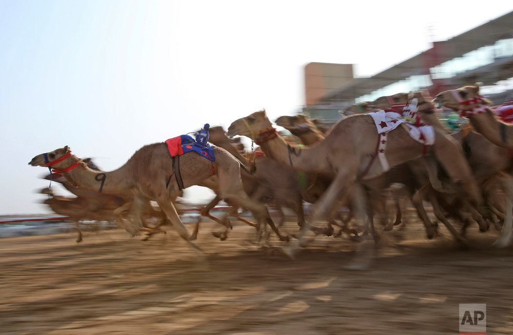 In this Saturday, April 8, 2017 photo, camels mounted with robot jockeys start a race at the Al Marmoom Camel Racetrack, in al-Lisaili about 40 km (25  miles) southeast of Dubai, United Arab Emirates. Camel racing is a big-money sport and fast thoroughbreds can fetch well over a million dollars. As rising temperatures across Gulf Arab countries signal the end of the winter camel racing season, Dubai is wrapping up its races with the annual Al Marmoom Heritage Festival that has drawn thousands of camels from across the oil-rich Gulf. (AP Photo/Kamran Jebreili)