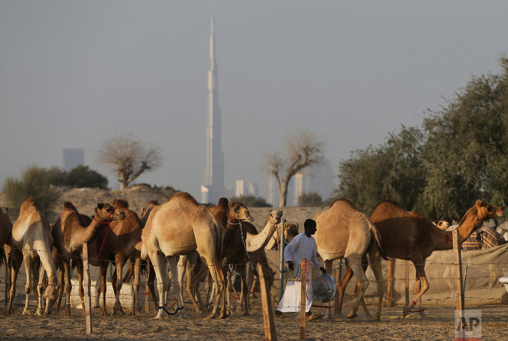 In this Jan. 30, 2017 photo, with the world's tallest building, the Burj Khalifa in the background, a keeper feeds dates to female camels, in Dubai, United Arab Emirates. (AP Photo/Kamran Jebreili)