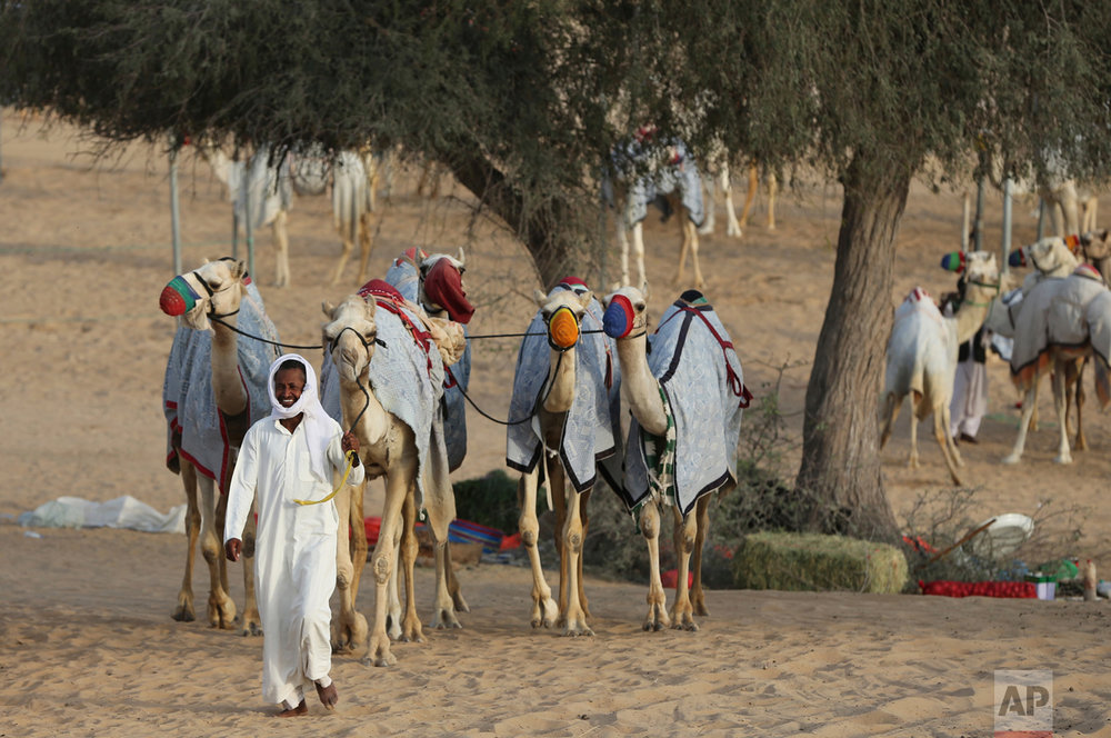 In this Saturday, April 8, 2017 photo, a keeper walks camels to the Al Marmoom Camel Racetrack, in al-Lisaili about 40 km (25 miles) southeast of Dubai, United Arab Emirates. (AP Photo/Kamran Jebreili)