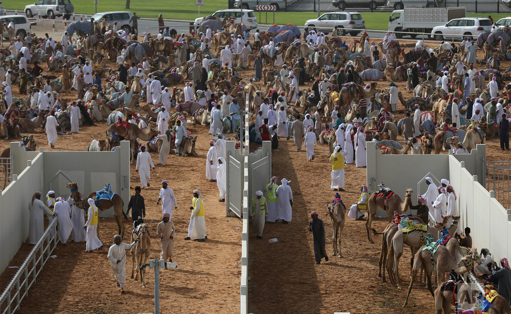 In this Saturday, April 8, 2017 photo, camel keepers bring their camels inside the official racing compound ahead of a race at the Al Marmoom Camel Racetrack, in al-Lisaili about 40 km (25 miles) southeast of Dubai, United Arab Emirates. (AP Photo/Kamran Jebreili)
