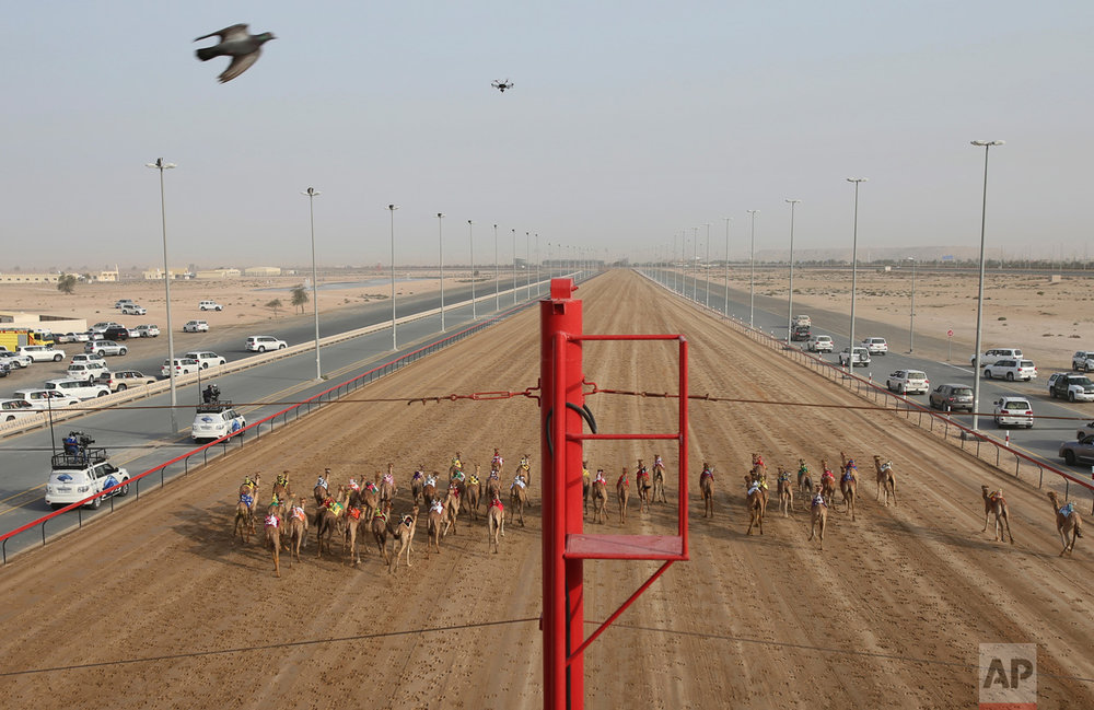 In this Saturday, April 8, 2017 photo, camel owners in their SUVs follow their camels as a race starts at the Al Marmoom Camel Racetrack, in al-Lisaili about 40 km (25 miles) southeast of Dubai, United Arab Emirates. (AP Photo/Kamran Jebreili)