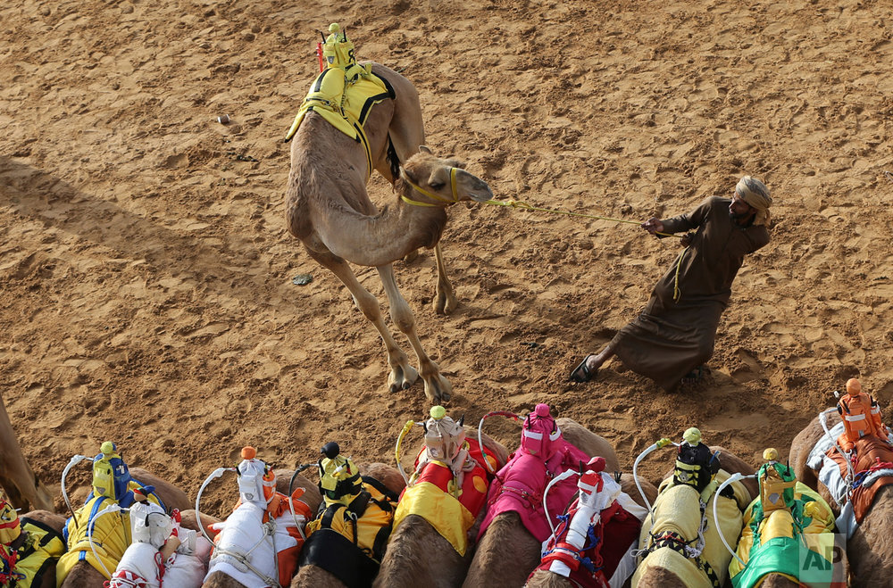 In this Saturday, April 8, 2017 photo, a camel keeper tries to control his camel ahead of a race at the Al Marmoom Camel Racetrack, in al-Lisaili about 40 km (25 miles) southeast of Dubai, United Arab Emirates. (AP Photo/Kamran Jebreili)