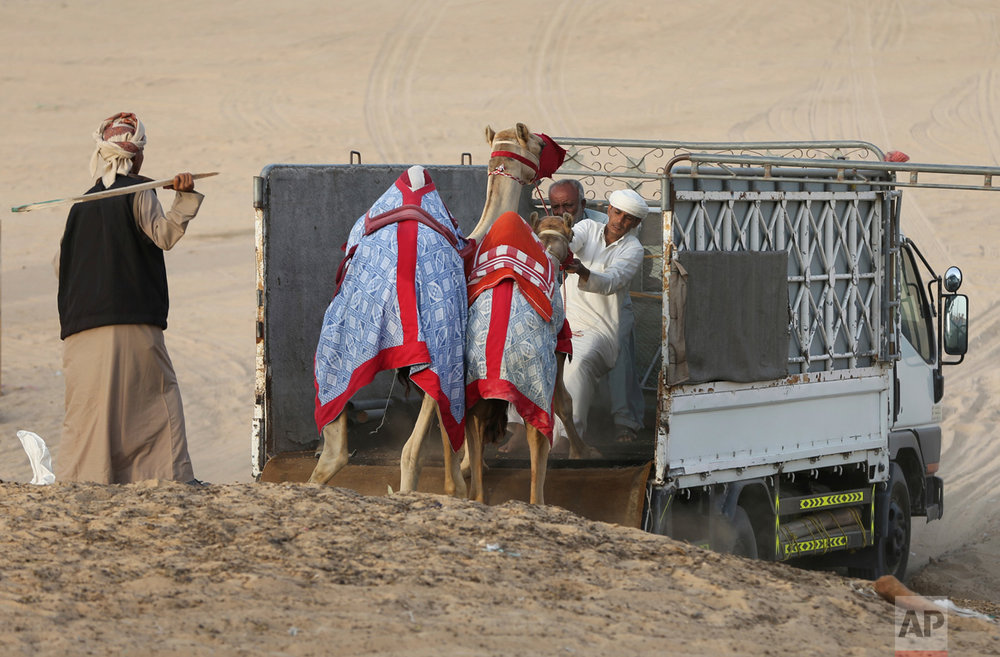In this Saturday, April 8, 2017 photo, keepers try to load two camels on a truck at the Al Marmoom Camel Racetrack, in al-Lisaili about 40 km (25 miles) southeast of Dubai, United Arab Emirates. (AP Photo/Kamran Jebreili)