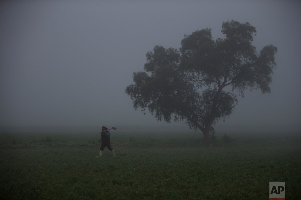 In this March 17, 2017 photo, a worker carries a shovel as he walks through an alfalfa field in early morning fog, on his way to manage the flood irrigation with wastewater of a field where corn will be planted, in Santa Ana Ahuehuepan, north of Tula, Hidalgo state, Mexico. For more than 100 years, most of what gets flushed down Mexico City's toilets has resurfaced two hours to the north in the rivers and reservoirs of rural Mezquital Valley. A massive new water treatment plant is about to change this. (AP Photo/Rebecca Blackwell)