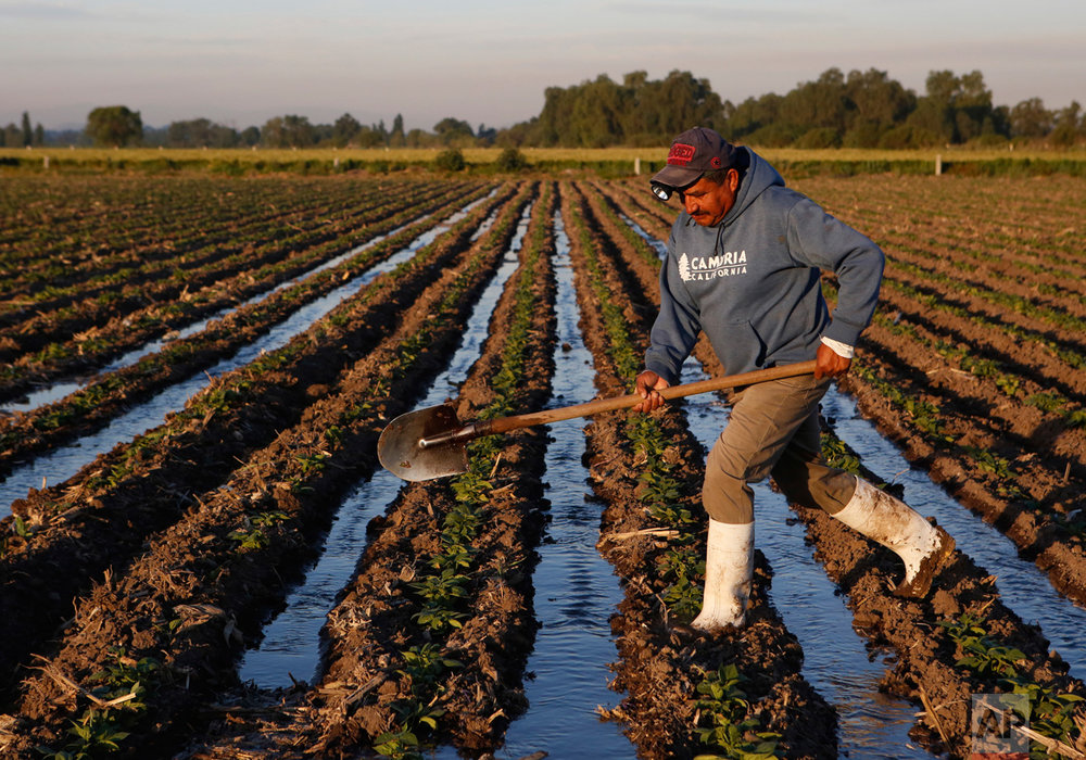 In this April 1, 2017 photo, a farm worker irrigates black bean plants with wastewater near Tepatepec, Hidalgo state, Mexico. Rather than welcoming the prospect of cleaner water, farmers are demanding the government honor an 1895 presidential decree granting them the right to the capital's untreated sewage, which they see as fertilizer-rich, if foul, irrigation water.(AP Photo/Rebecca Blackwell)