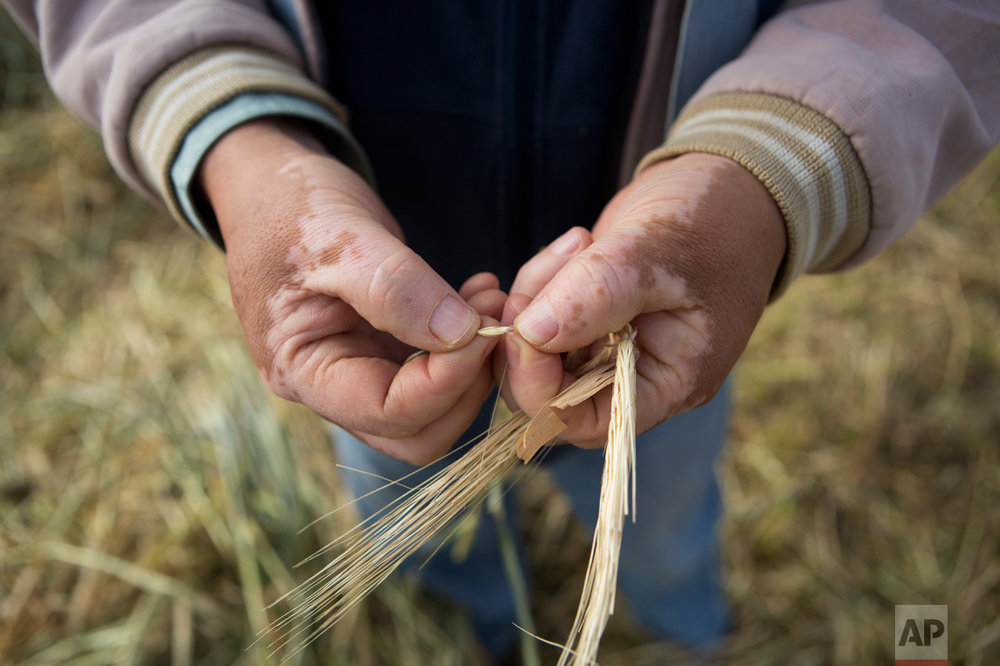 "In this March 17, 2017 photo, farmer Silvino Garcia, 62, shows a grain of the barley he grows as animal feed for the dairy industry, in his field alongside the Endho reservoir north of Tula, Hidalgo state, Mexico. The capital's waste was hardly seen as a boon when it first began arriving, but over the decades, the ""aguas negras,"" or ""black waters,"" transformed the region into one of Mexico's most productive breadbaskets. Farmers fear using treated water could cut their production in half, while creating new costs for fertilizer and agro-chemicals.(AP Photo/Rebecca Blackwell)"