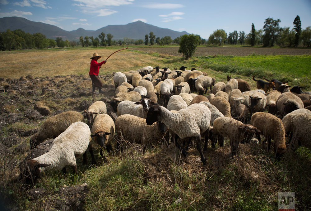 In this April 1, 2017 photo, a herder guides her sheep as they graze on the stubs of cut grain crops in the Otomi village of Dengantzha, near Tepatepec, Hidalgo state, Mexico. The semi-arid Mezquital valley, traditionally inhabited by the indigenous Otomi people, was named for the mesquite trees that grew there along with cactus before wastewater irrigation arrived. (AP Photo/Rebecca Blackwell)