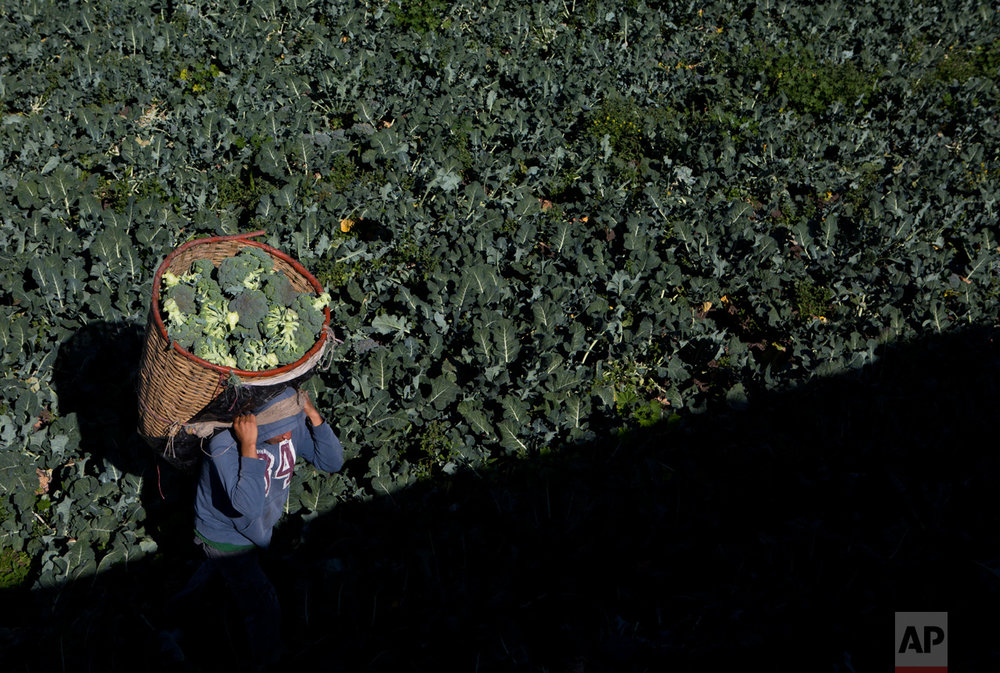In this April 1, 2017 photo, a day laborer hauls a load of broccoli to a truck during harvest, near Mixquiahuala, Hidalgo state, Mexico. Most of the crops grown in the valley are low risk to humans: alfalfa, for example, is used for animal feed; and corn grows several feet above the water in protective husks. But there are also plots of prohibited, ground-hugging produce such as cauliflower, broccoli and cilantro. (AP Photo/Rebecca Blackwell)