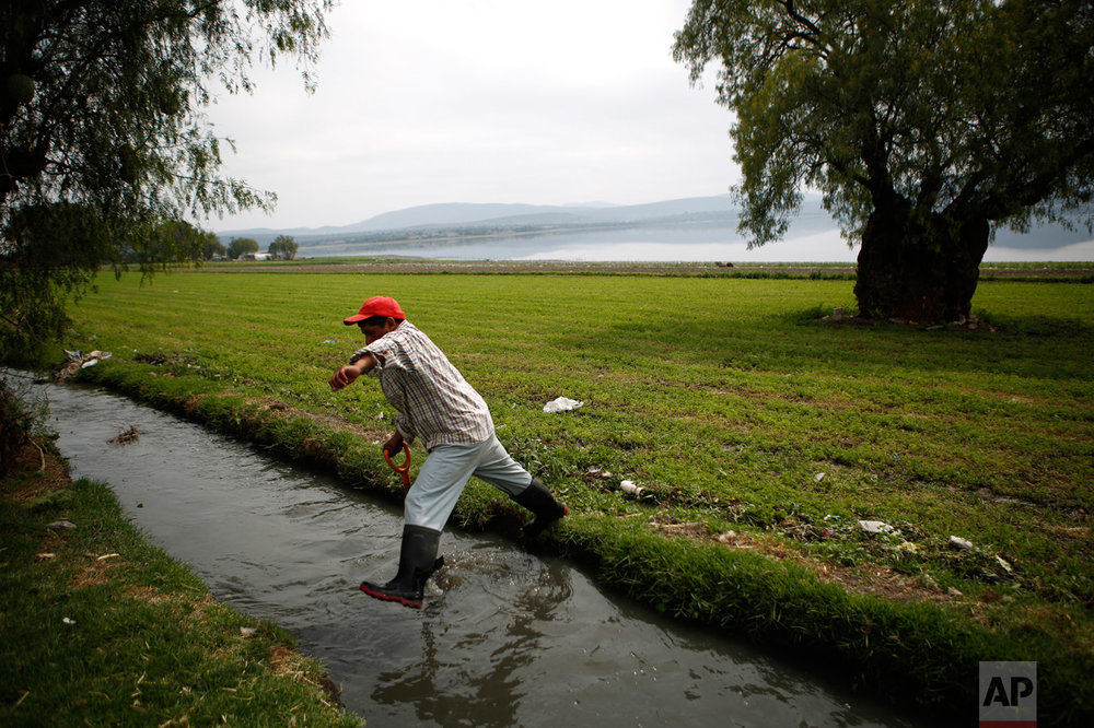 "In this March 31, 2017 photo, Fernando Sanchez, jumps over a wastewater canal after irrigating an alfalfa field on the banks of the Endho reservoir north of Tula, Hidalgo state, Mexico. ""My grandparents went with a pickaxe and a shovel opening the canals,"" said Teresa Alvarez, a 69-year-old grandmother who farms alfalfa, corn and wheat in the town of Tepatepec. ""So it's not fair that all of a sudden they are taking away the waters, and we are going to fight."" (AP Photo/Rebecca Blackwell)"