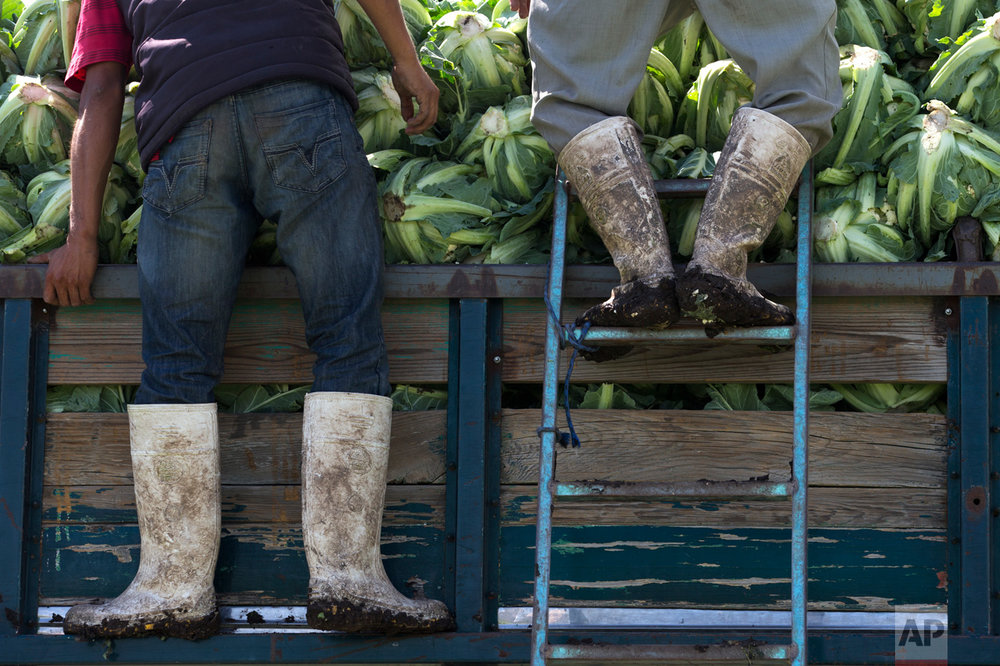 In this March 16, 2017 photo, day laborers, their boots caked in mud, arrange harvested cauliflower grown with wastewater atop a truck, near Mixquiahuala, Hidalgo state, Mexico. The National Water Commission argued the new wastewater treatment plant will preserve many of the nutrients in the water, improve conditions for the valley's 700,000 residents, gradually reduce pollution in the region's waterways and allow the cultivation of currently banned crops, such as cauliflower. (AP Photo/Rebecca Blackwell)
