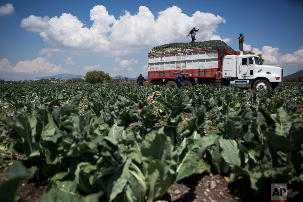 "In this March 16, 2017 photo, workers place a net over the bed of a truck filled with cauliflower as they harvest a field grown with wastewater, near Mixquiahuala, Hidalgo state, Mexico. Efrain Gonzalez, who represents farmers from five towns around the city of Tula, has objections to the wastewater treatment plant but acknowledges there's something absurd about ""waiting for 10,000 residents of the capital go to the bathroom so that I can fertilize my field."" (AP Photo/Rebecca Blackwell)"