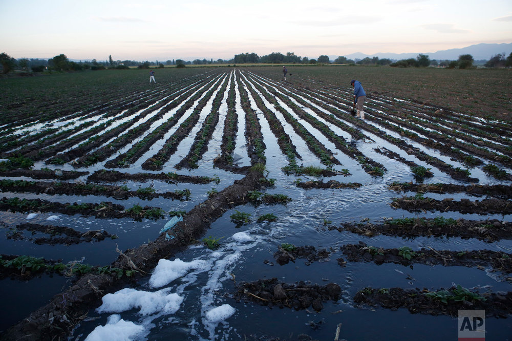 In this April 1, 2017 photo, foam from detergents flows into a field of black beans as it is irrigated with wastewater near Tepatepec, Hidalgo state, Mexico. Farmers who irrigate with wastewater face health risks, including roundworm and other parasite infections, according to the World Heath Organization. But most of the Mezquital farmers downplay the risks, claiming that generations of families have not suffered. In fact they often wash their hands in the brown water before settling down to eat lunch in the fields. (AP Photo/Rebecca Blackwell)