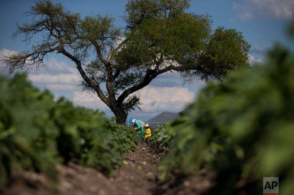 "In this March 16, 2017 photo, a boy accompanies his mother as she harvests zucchini flowers from a field irrigated with wastewater, near Mixquiahuala, Hidalgo state, Mexico. Geologist Christina Siebe who has spent decades researching farming in the Mezquital Valley says it's not clear a large-scale treatment plant like Atotonilco is worth the cost. ""There are simpler and cheaper methods to reduce the risks. ... How you manage your land, what type of crops you produce and what hygiene practices you as a farmer use,"" Siebe said. (AP Photo/Rebecca Blackwell)"