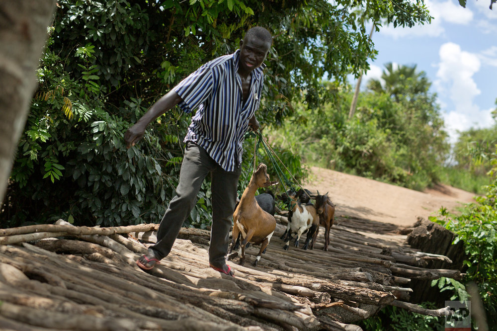 In this Wednesday March 29, 2017 photo, an unidentified man crosses into in Northern Uganda with his goats near Busia, Uganda. (AP Photo/Jerome Delay)
