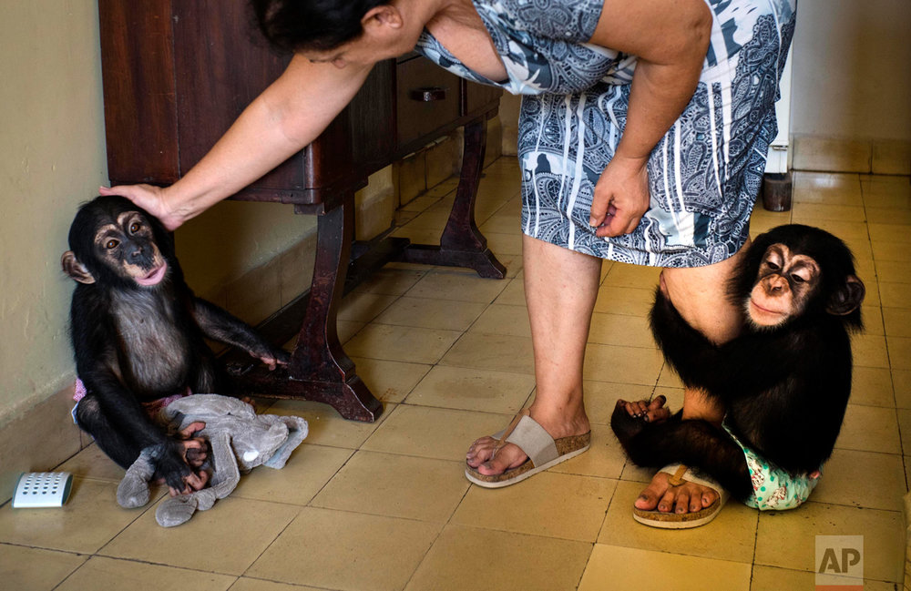 In this April 4, 2017 photo, zoologist Marta Llanes caresses baby chimpanzee Anuma II, left, while Ada hangs on to her leg, at Llanes' apartment, in Havana, Cuba. She has forgiven them every transgression. It's hard to stay angry at a baby chimpanzee when it clambers up your leg and into your arms and plants a kiss on your cheek in a plea for forgiveness. (AP Photo/Ramon Espinosa)