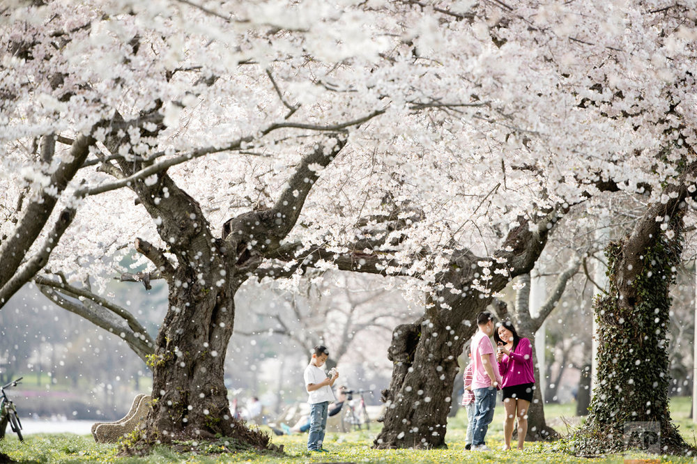 A family gathers beneath blossoming trees along Kelly Drive on a spring afternoon in Philadelphia, Wednesday, April 5, 2017. (AP Photo/Matt Rourke)