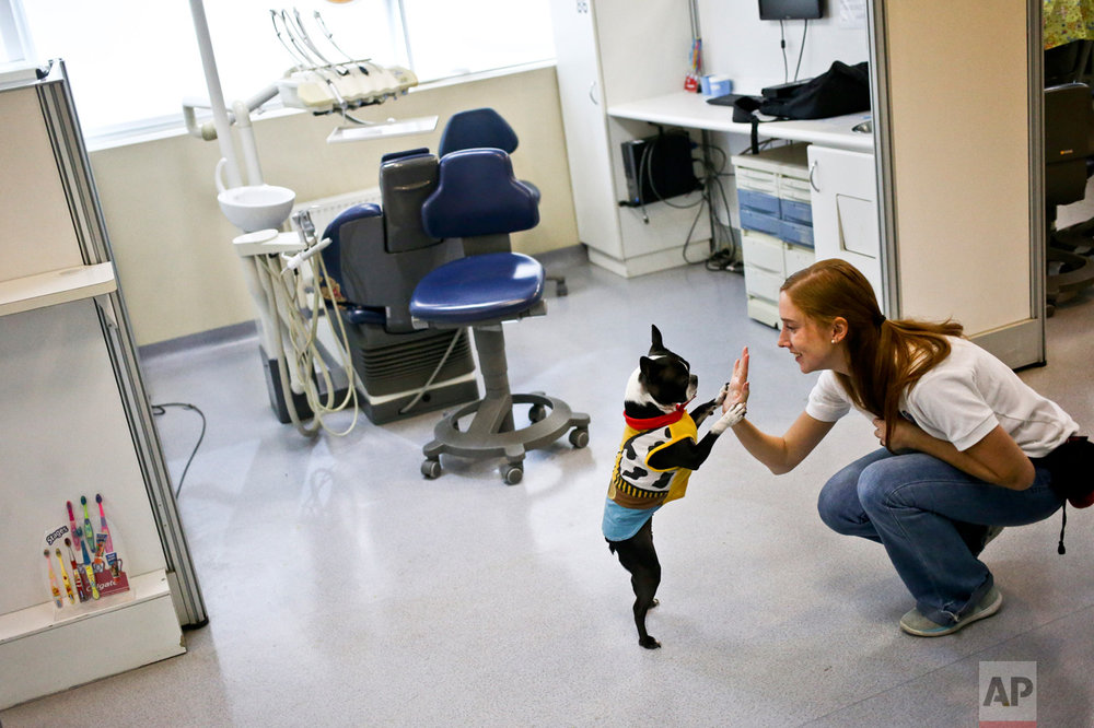 In this April 28, 2017 photo, therapy dog Perry plays with his owner and trainer Isabel Garcia after a work day helping calm autistic children during their dental appointments at Los Andes University Medical Center on the outskirts of Santiago, Chile. The clinic pays the equivalent of $67 for a session with a dog, though its charge for a child's visit varies, depending on the family's economic level. (AP Photo/Esteban Felix)