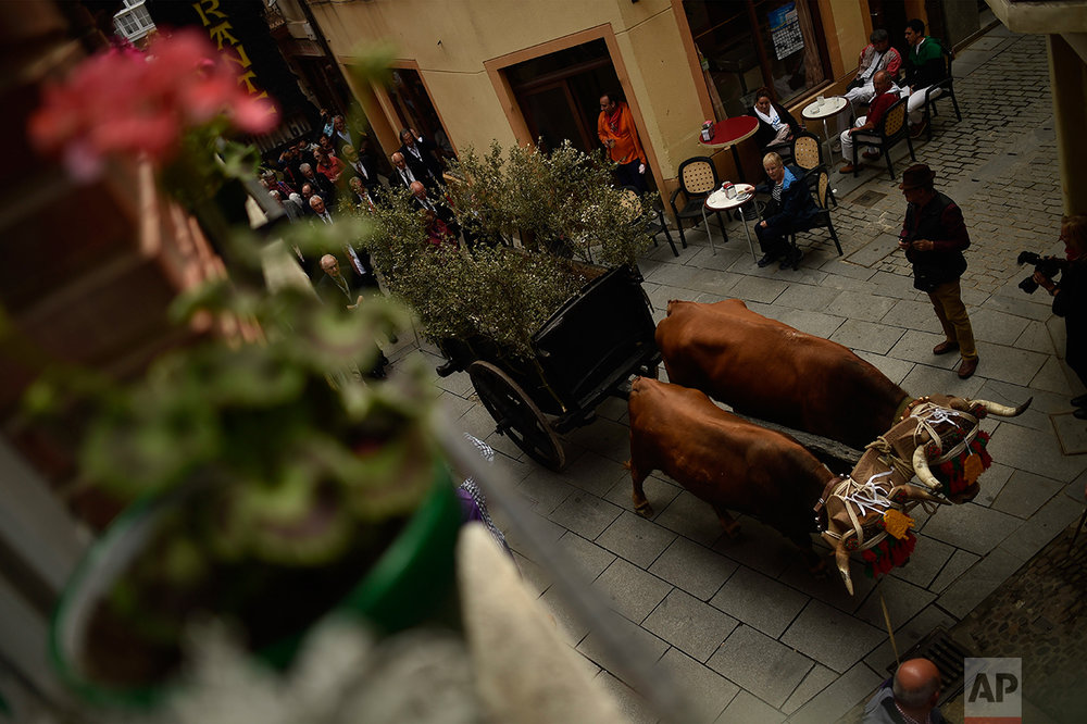 Participant of ''Bunch Procession'' walk along the old street with two brown cows in the ceremony in honor of Domingo de La Calzada Saint (1019-1109), who helped poor people and pilgrims, in Santo Domingo de La Calzada, northern Spain, Wednesday, May 10, 2017.  (AP Photo/Alvaro Barrientos)