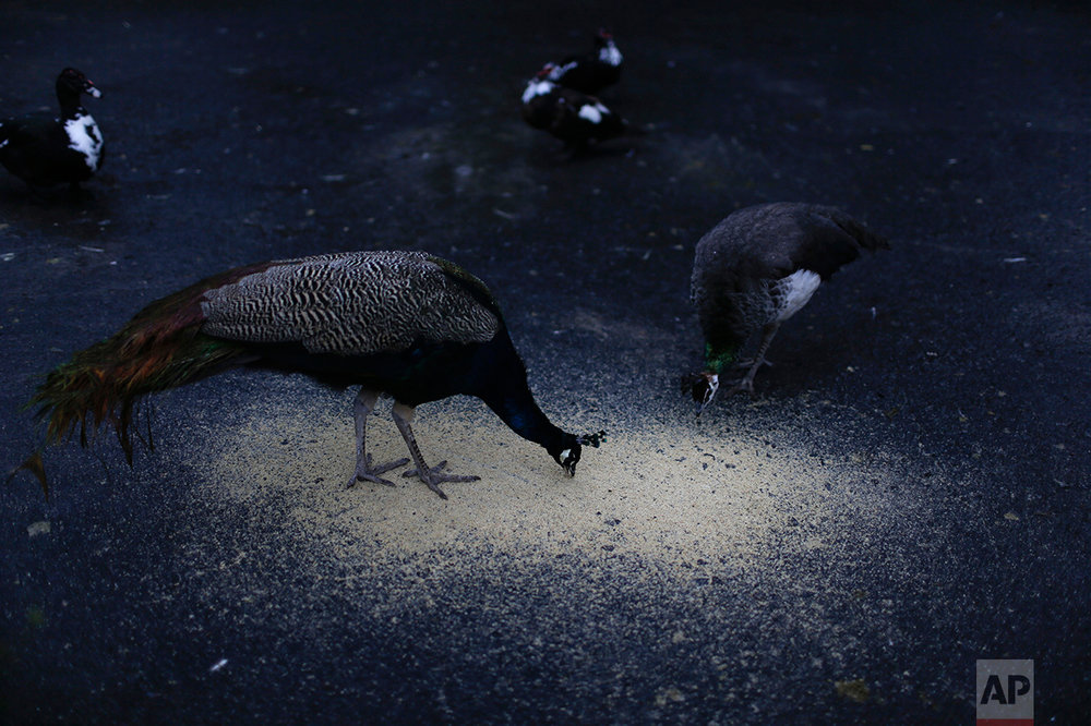 In this May 12, 2017 photo, peafowls feed on ground grains at the former city zoo, now known as Eco Parque, in Buenos Aires, Argentina. A year after the 140-year old Buenos Aires zoo closed its doors and was transformed into a park, hundreds of animals remain behind bars and in limbo. (AP Photo/Natacha Pisarenko)