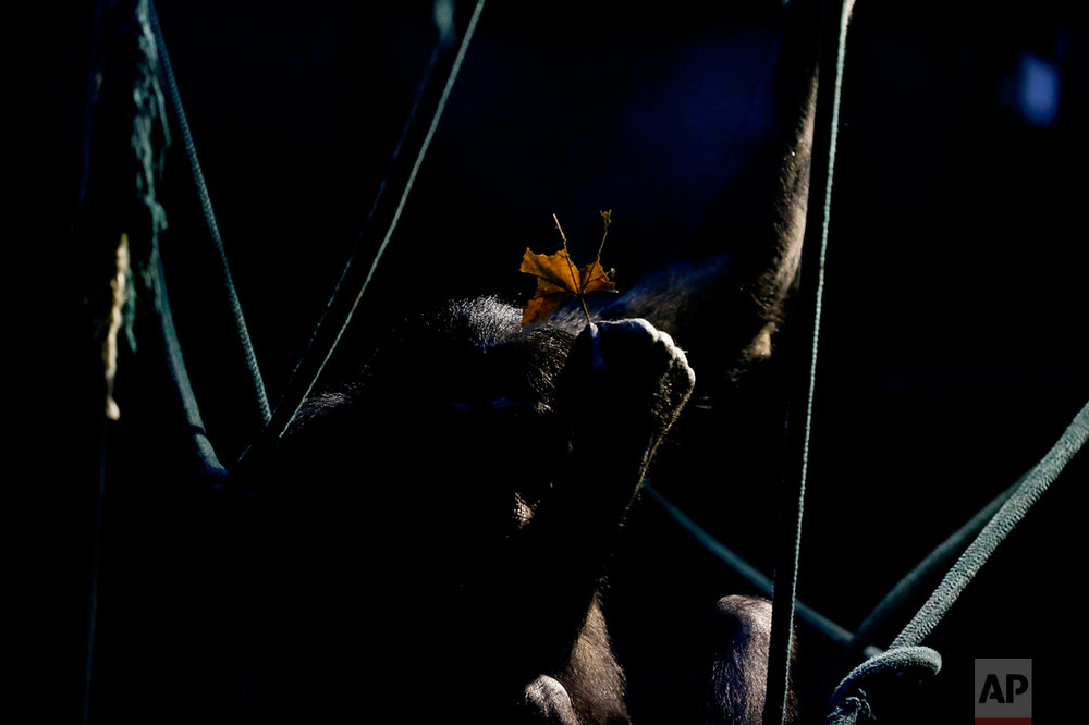 In this July 5, 2016 photo, a chimpanzee holds a leaf while sitting on ropes in an enclosure at the former city zoo now known as Eco Parque, in Buenos Aires, Argentina. Lions, giraffes and hundreds of other animals remain behind bars and in limbo a year after the former Buenos Aires zoo turned into an ecological park as part of a project to relocate most of its animals to sanctuaries in Argentina and abroad. (AP Photo/Natacha Pisarenko)