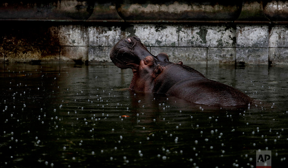 In this May 12, 2017 photo, Guille, the hippopotamus, wades in a pool of water in her enclosure at the former city zoo now known as Eco Parque, in Buenos Aires, Argentina. Developers last July promised to relocate most of the zoo's animals to sanctuaries in Argentina and abroad, but they had made no firm arrangements to do so. (AP Photo/Natacha Pisarenko)