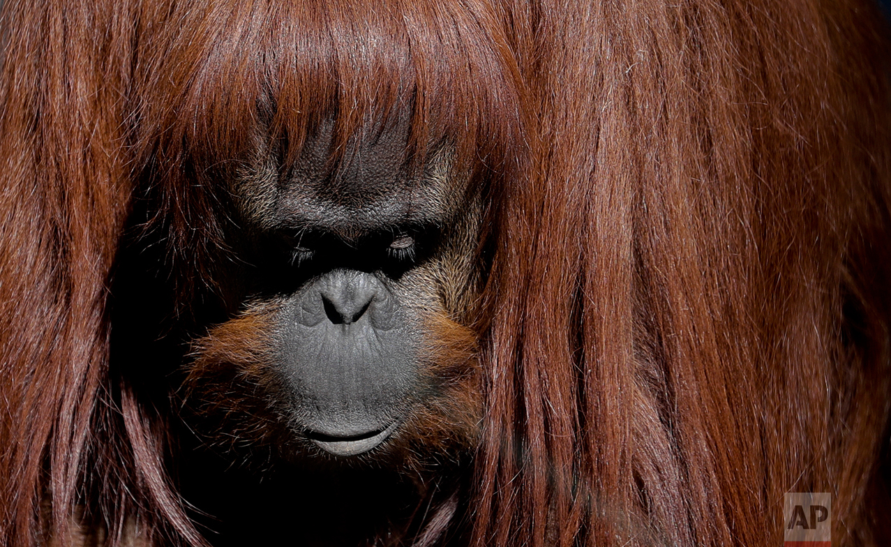This May 16, 2017 photo shows Sandra, the orangutan, inside her enclosure at the former city zoo now known as Eco Parque, in Buenos Aires, Argentina. Sandra became known worldwide when an Argentine court issued a landmark ruling in 2014 that she was entitled to some of the legal rights enjoyed by humans. She's no longer on display for curious visitors. (AP Photo/Natacha Pisarenko)