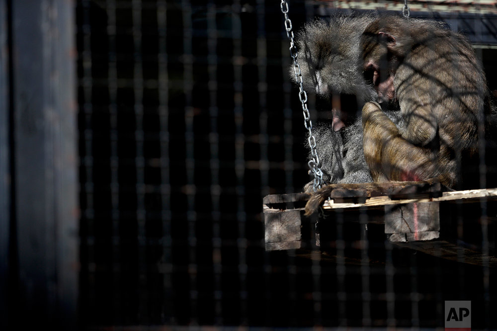 In this May 16, 2017 photo, baboons huddle inside their enclosure at the former city zoo now known as Eco Parque, in Buenos Aires, Argentina. Developers last July promised to relocate most of the zoo's animals to sanctuaries in Argentina and abroad, but they had made no firm arrangements to do so. And a new master plan announced Tuesday, May 23, 2017, still doesn't specify how they will accomplish it. (AP Photo/Natacha Pisarenko)
