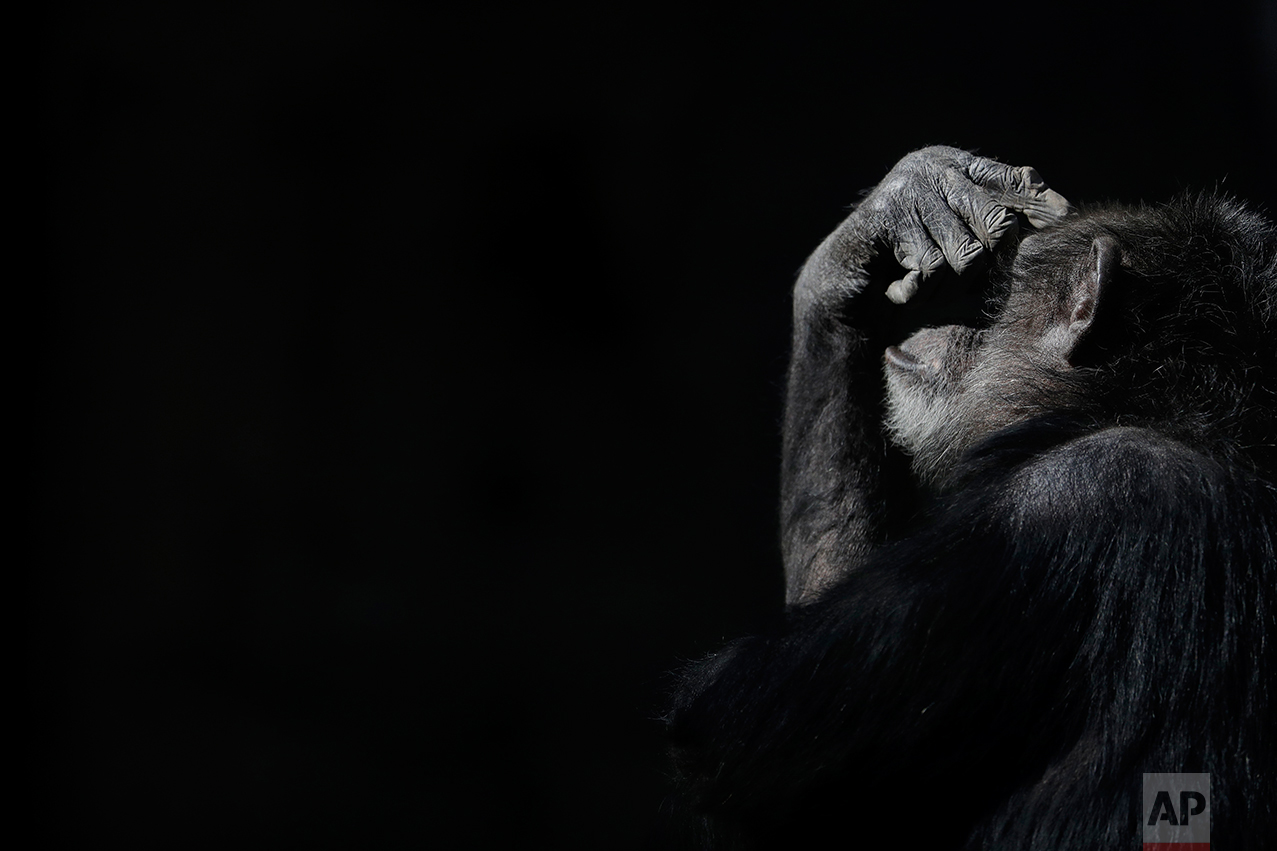 "In this May 16, 2017 photo, a chimpanzee shades his eyes with his hand while sitting in his enclosure at the former city zoo now known as Eco Parque, in Buenos Aires, Argentina. ""It's gone from bad to worse,"" said Claudio Bertonatti, a former Buenos Aires zoo director. ""Everything is set for Noah's Arc to be shipwrecked."" (AP Photo/Natacha Pisarenko)"