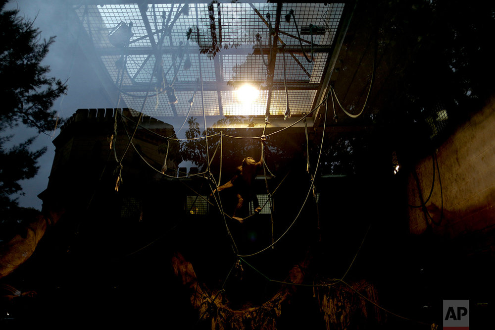 In this July 5, 2016 photo, a chimpanzee uses ropes to navigate in an enclosure at the former city zoo now known as Eco Parque, in Buenos Aires, Argentina. Many of the animals at Eco Parque are so zoo-trained that experts fear they would die if moved, even to wild animal preserves. (AP Photo/Natacha Pisarenko)