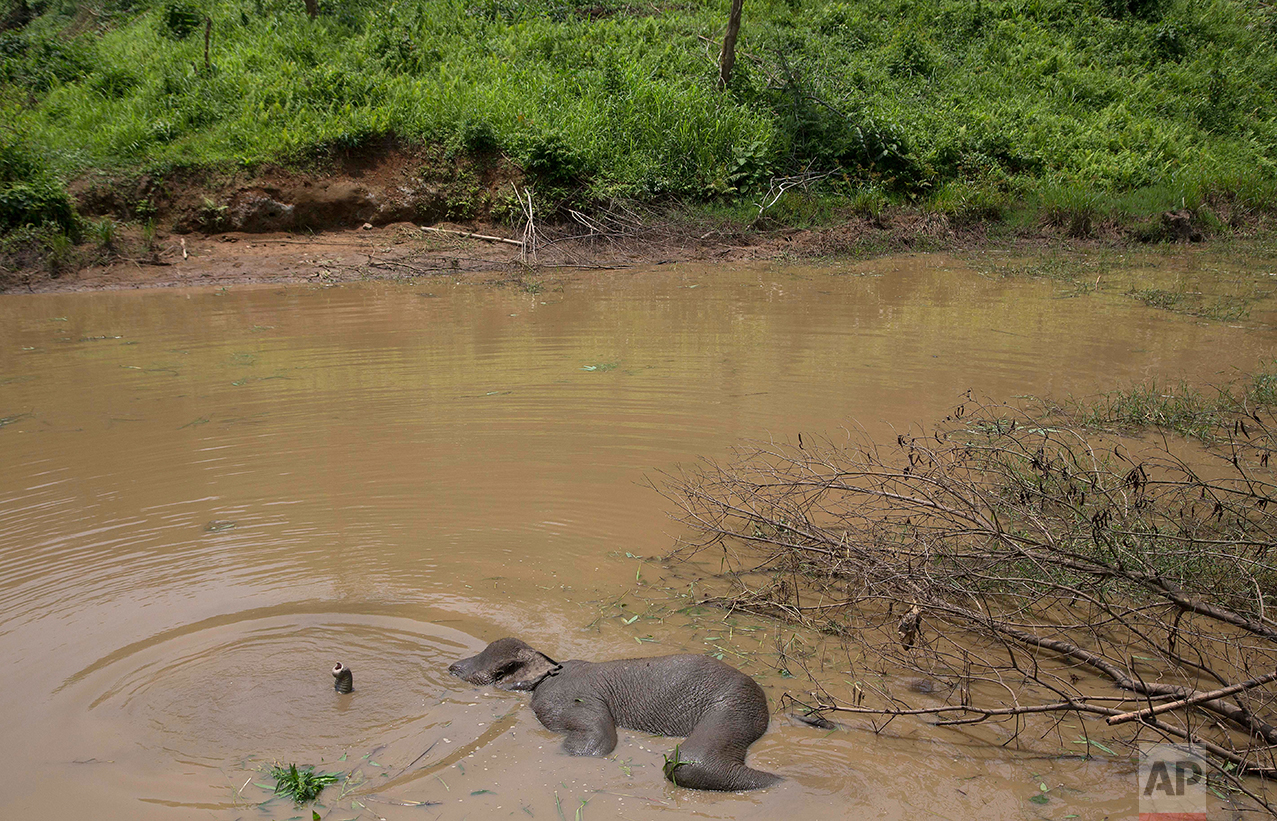India Elephant in Swamp