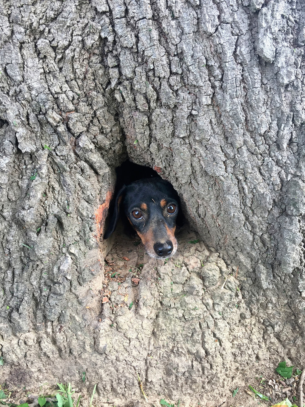 Dog Trapped in Tree