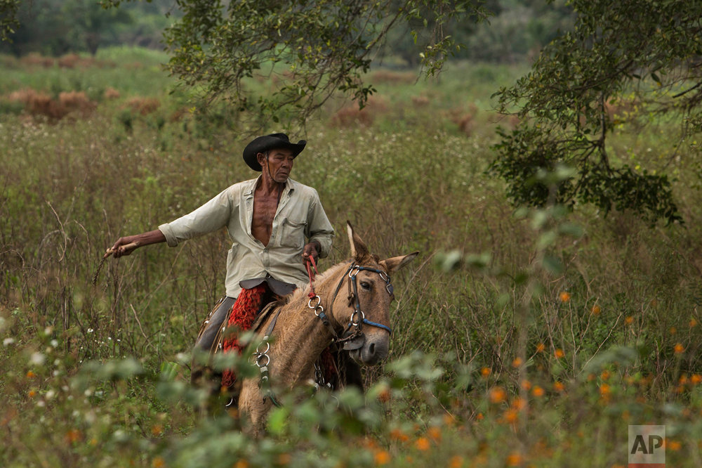 In this May 17, 2017 photo, cowboy Joao Aquino Pereira rides his horse in Corumba, in the Pantanal wetlands of Mato Grosso do Sul state, Brazil. Each day, the men and animals traverse about 11 miles from dawn until 3 p.m., in temperatures averaging about 90 degrees Fahrenheit during the day. (AP Photo/Eraldo Peres)