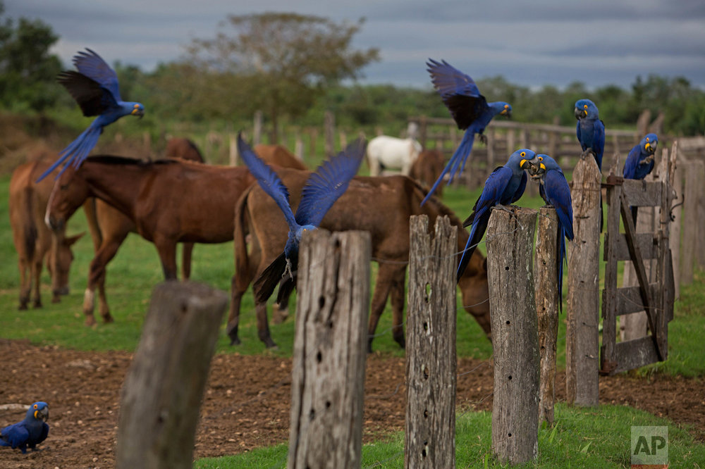 In this May 16, 2017 photo, Araras ,or Macaws, are seen at a ranch in Corumba, in the Pantanal wetlands of Mato Grosso do Sul state, Brazil. At different moments during a cowboy round-up, they cross paths with macaws, deer and pit vipers, all seemingly unfazed by their presence. (AP Photo/Eraldo Peres)