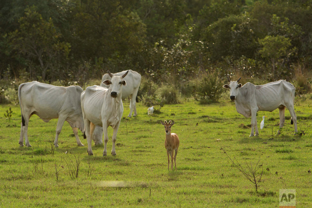 In this May 18, 2017 photo, a marsh deer stands near a herd of oxen in Corumba, in the Pantanal wetlands of Mato Grosso do Sul, state, Brazil. At different moments during trips by cowboys and their cattle, men and beasts cross paths with macaws, deer and pit vipers, all seemingly unfazed by their presence. (AP Photo/Eraldo Peres)